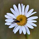 A Daisy A Day by Bev Woodman