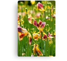 Dry Tulip Field Canvas Print