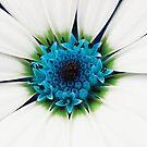White petals by Anne Staub