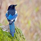 Magpie by M.S. Photography/Art