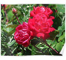 Triplet Roses Poster