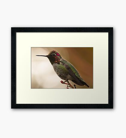 Male Anna's Hummingbird Framed Print