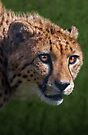 Cheetah Stare by Krys Bailey