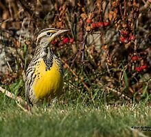 Western Meadowlark in New Hampshire! - North Hampton, NH 11-16-15 by David Lipsy
