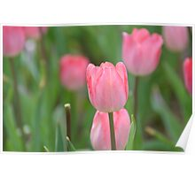 Pink Tulips in the Spring Poster