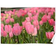 Pretty in Pink Tulips Poster