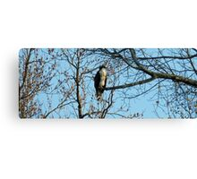Hawk Perched in Tree Canvas Print