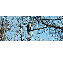 Hawk Perched in Tree Photographic Print
