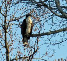 Hawk Perched in Tree Sticker