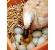 A Mothers Kiss  ~ Newborn Duckling ~ Photographic Print