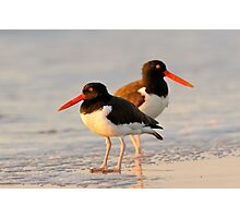 american oystercatchers Photographic Print