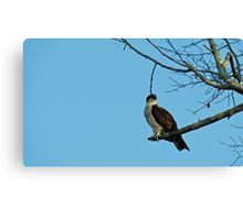 Hawk Perched 3 Canvas Print