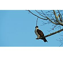 Hawk Perched 3 Photographic Print