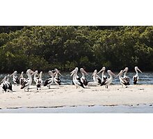 Pelicans on the Tweed Photographic Print