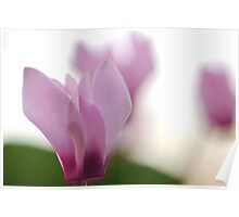 Persian Violets (Cyclamen persicum) Poster