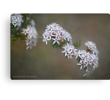 Common Heath Myrtle Canvas Print