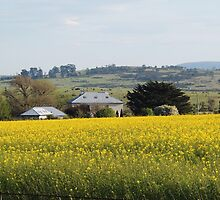 Field of Canola, Conara, Tasmania by Wendy Dyer