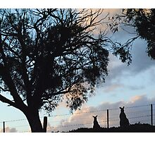 Kangaroos in Silouette, under the Gum tree - Whittlesea, Victoria Photographic Print
