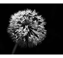 Dandelion in Monochrome Photographic Print