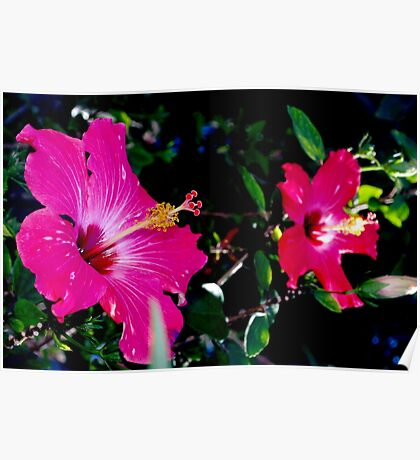 Two hibiscus blossoms Poster