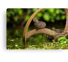 Inquisative baby Water vole Canvas Print