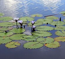 Water lilies.  by Elizabeth Kendall