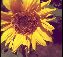 Old Photo of a Sunflower with Hasselblad crosshairs by astralsid