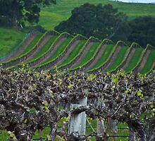 Barossa Vineyard by Caroline  Lloyd
