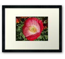 Morning Poppy Framed Print