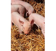 Pink Piglet Photographic Print