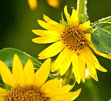 A Bee And Crab Spider On A Beautiful Organic Sunflower by Kuzeytac