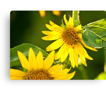 A Bee And Crab Spider On A Beautiful Organic Sunflower Canvas Print