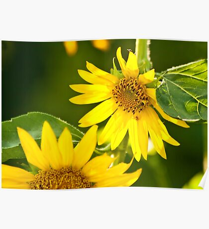 A Bee And Crab Spider On A Beautiful Organic Sunflower Poster