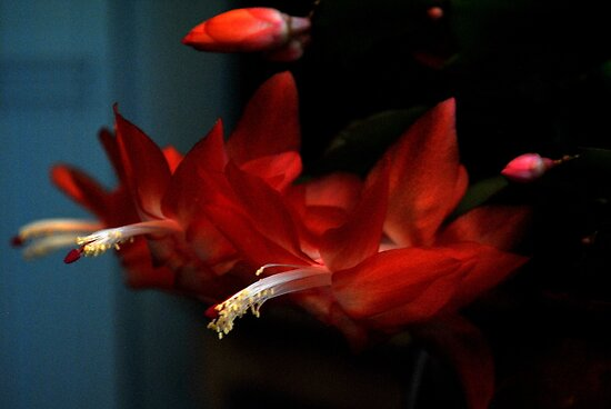 Christmas Cactus by goddarb