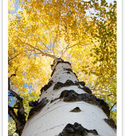 Aspen Tree Sticker