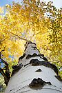 Aspen Tree by William C. Gladish
