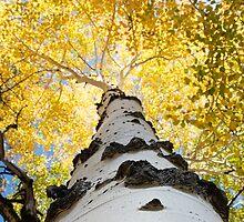 Aspen Tree by William C. Gladish, World Design