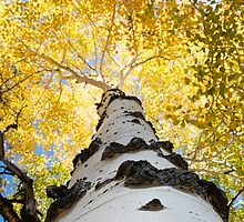 Aspen Tree by William C. Gladish