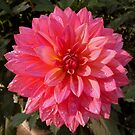 One more perfect dahlia - (please click to view large!) by bubblehex08