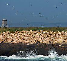 Swarming Puffins by Rob Atkinson