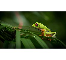 Costa Rican Red Eye Tree Frog Photographic Print