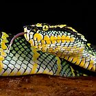 Waglers pit viper by AngiNelson
