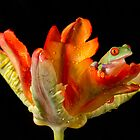 Red eyed tree frog on parrot tulip by Angi Wallace