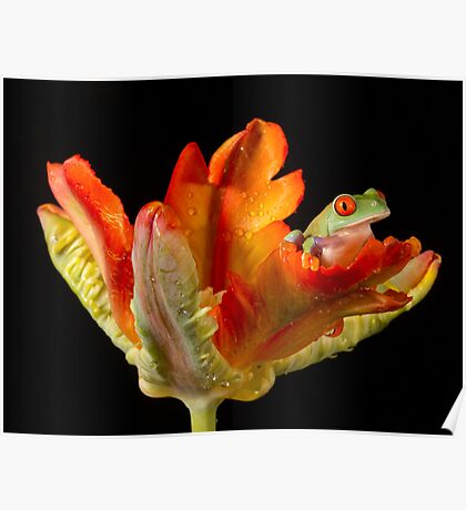 Red eyed tree frog on parrot tulip Poster