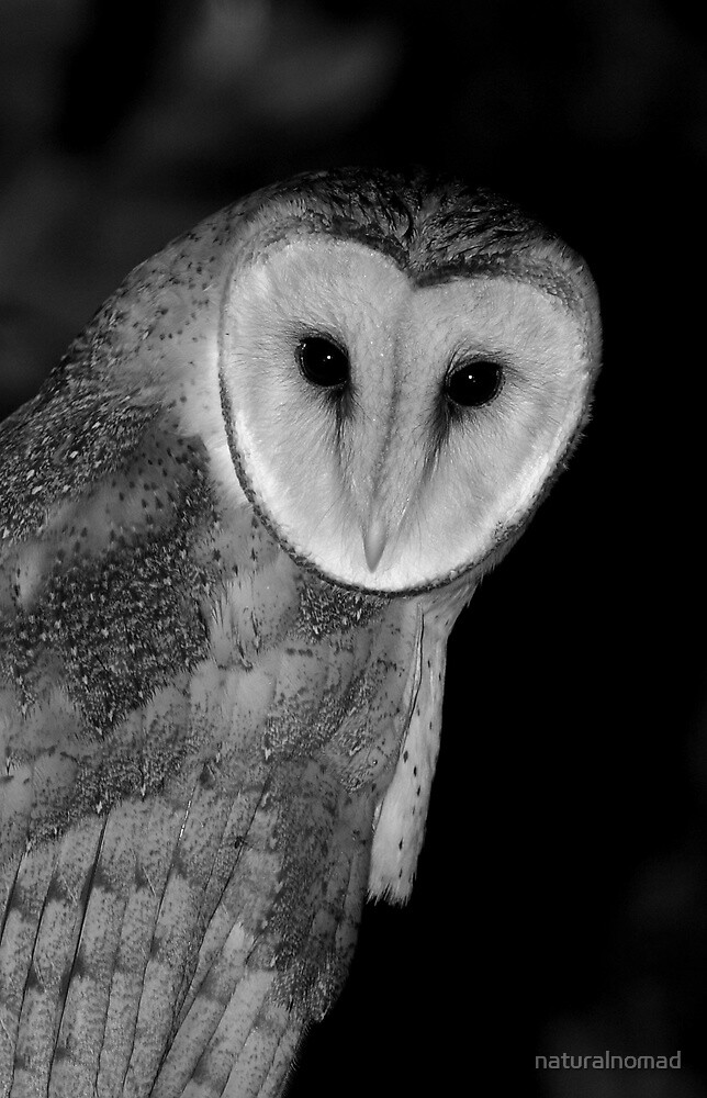 Barn Owl B&W by naturalnomad