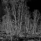 Shoreline Birch Trees - Yellowknife, NWT, Canada by Phil McComiskey