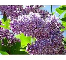 Dreamy Lilac Photographic Print
