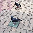 Pigeon One 02 11 12 by Robert Phillips