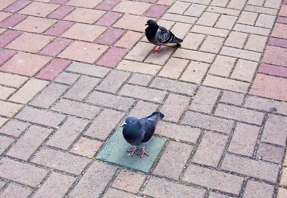 Pigeon Two 02 11 12 by Robert Phillips