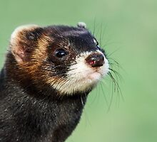 Polecat Portrait by Mark Hughes